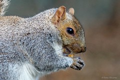 Happy Squirrel (Anne Ahearne) Tags: gray grey squirrel easterngraysquirrel nature wildlife wild animal cute happy smile smiling peanut closeup