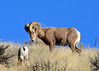DSC_2689 Ram keeping an eye on the kid (futzr.fotoz) Tags: blue sky nature cheat grass sage brush yakima big horn sheep county pacific northwest washington