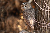 Himalayan owl (Zahoor-Salmi) Tags: zahoorsalmi salmi wildlife pakistan wwf nature natural canon birds watch animals bbc flickr google discovery chanals tv lens camera 7d mark 2 beutty photo macro action walpapers bhalwal punjab