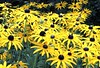 Summer Sun (Kevin Pendragon) Tags: blackeyedsusan yellow black summer flora leaves petals