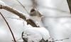 Female Dark-eyed Junco (Marietta Dooley) Tags: canon 5dmarkiv fullframe pennsylvania pennsylvaniawildlife urbanwildlife birds songbirds snow winter junco darkeyedjunco
