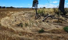 Winton wetlands Dec 2017 34 (Graeme Butler) Tags: victoria australia australianplants birdlife history landscape publicart trees walking water wetlands