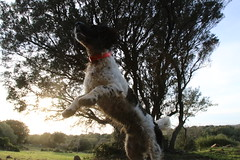 Chien Corse (mel_uso) Tags: amour chien springer spaniel jagdhund chasse winter hiever corse du sud weide sonne