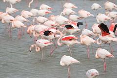 Greater Flamingo (phoenicopterus roseus) (mrm27) Tags: france flamingo greaterflamingo phoenicopterusroseus phoenicopterus pontdegau camargue