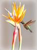 Los Angeles County Arboretum 1.1.18 3 (Marcie Gonzalez) Tags: hummingbird humming bird birds hummer flowers paradise fly flying flight fast nectar los angeles arboretum county arcadia north america us usa southern california garden gardens socal so cal ca calif