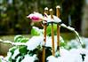 Snowy time. (ost_jean) Tags: sneeuw flower snow winter hivers ostjean macro fleurs bloem frozen neige white blanc wit