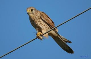 Kestrel - Gheppio (Falco Tinnunculus)