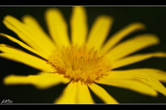 IMG_4695 (jlpvina) Tags: leo vina photography canon eos 7d baguio philippines flowers nature