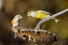 xxDSC_9895 (Eyas Awad) Tags: eyasawad nikond4 sigma500f45 nikond800 nikonafs300mmf4 bird birds birdwatching wildlife nature peppola fringillamontifringilla verdone chlorischloris