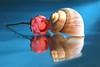Rose and snail (Xtraphoto) Tags: kunst photoart art reflection spiegel spiegelung mirror schnecke snail rose