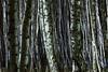 Forest night (Trivial Dependence) Tags: forestnight forest wood night pinseskoven denmark copenhagen carlzeiss 135mm f2 apo sonnar zf2 aposonnart2135 135mmf2apo zeiss nikon d810 pierrestachurska birch tree birchforest