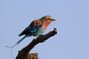 2016 10 15_Lilac-breasted Roller-2 (Jonnersace) Tags: krugernationalpark lilacbreastedroller gewonetroupant coraciascaudatus colour sky morning feathers tail lyre lilac blue beak catchlight lowersabie