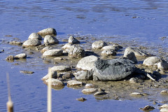 Snapping Turtle (Jeff Mitton) Tags: snappingturtle turtle pond waldenponds boulder earthnaturelife wondersofnature