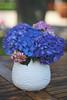 (Paul J's) Tags: flowers flower hydrangea blue pink vase