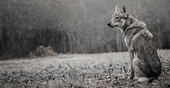 Sentinelle.... (Pilouchy) Tags: sentinelle animal free wild hunter sauvage life vie story forest wood lumiere wolf regard histoire conte