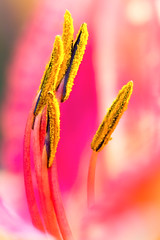 Lily Stamens (mclcbooks) Tags: flower flowers floral macro closeup lily lilies stamens anthers denverbotanicgardens colorado summer