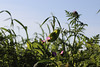 CKuchem-2190 (christine_kuchem) Tags: acker ackerrand agrarlandschaft biene bienenfreund bienenweide blühstreifen blüte boden bodenverbesserung dünger düngung eiweis eiweiserbsen erbsen feld felder grün gründünger insekten klee kulturlandschaft landwirtschaft lupinen mischung nahrung nektar phacelia pisumspec ramtillkraut sommer verbesserung winter winterroggen bio biologisch blau lila naturnah natürlich