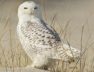 SNOWY OWL F-741-01