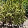 Portulacaria afra (SUBENUIX) Tags: altressuculentes portulacariaafra suculentas subenuix subenuixcom planta suculent suculenta botanic botanical