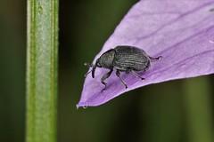 Miarus campanulae (chug14) Tags: unlimitedphotos animalia arthropoda hexapoda insecta coleoptera curculionoidea curculionoinae mecenini miaruscampanulae