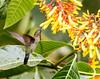 IMG_9061 Green-fronted Lancebill (suebmtl) Tags: bird birding zamora zamorachinchipeprovince hummingbird copalinga greenfrontedlancebill doryferaludovicae ecuador coth coth5
