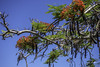 Poinciana Tree (Delonix Regina) (TOXTETH L8) Tags: delonixregina blackbeantree beans flowers madagascar tree queensland australia