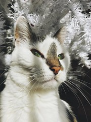 2/365/7 (f l a m i n g o) Tags: 365days project365 tree white angel cat holiday christmasday monday 2017 25th december
