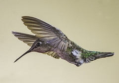 Female Anna's Hummingbird Approaching The Feeder (Bill Gracey 17 Million Views) Tags: disheveled a hrefhttpswwwflickrcomgroups1726718n20img srchttpsfarm9staticflickrcom861716108075483f224799eebojpg width250 height193 altp9300244 bpost 1 – comment 4b with code biget 5 post belowib hrefhttpswwwflickrcomgroups1772082n20level 3