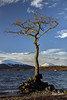 Milarrochy Bay Tree, Dec 2017 (Alan Cosh) Tags: milarrochybay milarrochybaytree tree lochlomond scotland loch