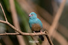 Blue-capped Cordon-bleu (ToddLahman) Tags: bluecappedcordonbleu bird birds beautiful portrait indoor lowlight sandiegozoosafaripark safaripark escondido eyelock canon7dmkii canon canon100400 closeup hiddenjungle aviary