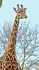 Giraffe (R.A. Killmer) Tags: giraffe zoo pittsburgh neck spots long tall nature africa beauty interesting animal