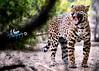 JaguarTiger ('Meeze.') Tags: cheetah leopard lorikeets lovebirds cheetahrun desert life cactus africa jaguar palmsprings california
