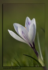 04mrt2014_0186 (K9 Design) Tags: sigma105mmf28exdgoshsmmacro canoneos60d krokus lente julianapark bolsward