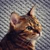 Bengal cat focused on a budgerigar (jacek.klimkowicz) Tags: animal pussycat portrait bengal cat