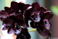 Black Orchids (Barbara.Elizabeth) Tags: