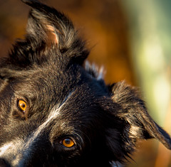 ACute Syndrome (JJFET) Tags: border collie dog sheepdog