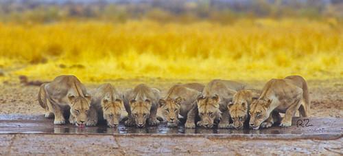 Seven Lions drinking in the Rain, ,M'bari, Etosha National Park,IIWM,  4177
