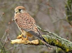 Kestrel (PhotoLoonie) Tags: bird wildbird kestrel nature wildlife nikon birdofprey falcon