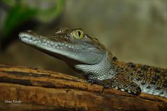 Saltwater crocodile (Crocodylus porosus) _DSC0335 (ikerekes81) Tags: saltwatercrocodilecrocodylusporosus saltwatercrocodile crocodylusporosus saltwater crocodile crocodylus porosus reptile reptilia animal clydepeelingsreptiland allenwoodpa allenwood pa closeup macro nikond3200 nikon d3200 sb700 istvankerekes istvan kerekes ik