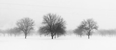 Floating trees (jimiliop) Tags: trees landscape snow white nature blackandwhite winter cold monochrome lines cables smooth mist