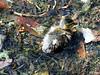 Camuflaje (Franco D´Albao) Tags: francodalbao dalbao fujifilmfinepixhs50exr pato duck ave bird animal camuflaje hojas leaves agua water