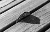 Sierra Vegetal (4/365) (Walimai.photo) Tags: black white blanco negro byn bw branco preto hoja leaf mesa table madera wood nikon d7000 nikkor 35mm 18 detail detalle sierra saw light luz sombra shadow diagonal