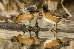 Flatulent waterfowl (ChicagoBob46) Tags: americanwigeon wigeon bird yellowstone yellowstonenationalpark nature wildlife ngc npc coth5