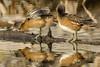 Flatulent waterfowl (ChicagoBob46) Tags: americanwigeon wigeon bird yellowstone yellowstonenationalpark nature wildlife ngc npc coth5