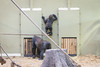 2018-01-07-12h17m49.BL7R8009 (A.J. Haverkamp) Tags: canonef100400mmf4556lisiiusmlens shae shindy amsterdam noordholland netherlands zoo dierentuin httpwwwartisnl artis thenetherlands gorilla sindy pobrotterdamthenetherlands dob03061985 pobamsterdamthenetherlands dob21012016 nl