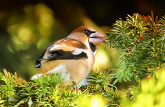 Darley Hawfinch 1a (ralphashton) Tags: bird nature beak finch trees leafs feathers hawfinch