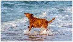 """""""Dans les vagues"""" (Stéphanie Deniaux - Photos) Tags: bretagne breizh bzh laturballe chien dog animal setter setterirlandais animauxdecompagnie loireatlantique paysdeloire france canon canonfrance"""