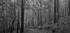 Ohiya (ŧŵ) Tags: ohiya srilanka zeissloxia zeissloxia21mmf28 carlzeiss deepforest forest sonymirrorless sonya7rii sonya7r2 landscape blackandwhite trees monochrome