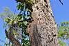 Eastern Small-eyed Snake (Cryptophis nigrescens) (shaneblackfnq) Tags: eastern smalleyed snake cryptophis nigrescens shaneblack elapid venomous reptile basking tree arboreal mt mount lewis julatten rainforest fnq far north queensland australia tropics tropical