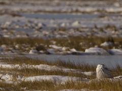 Sleeping Snowy Owl (SarahRydgren) Tags: massachusetts newengland love snow freezing sunrise dawn coast eastcoast